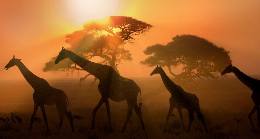 「夕闇のキリン」ナミビア, エトーシャ国立公園