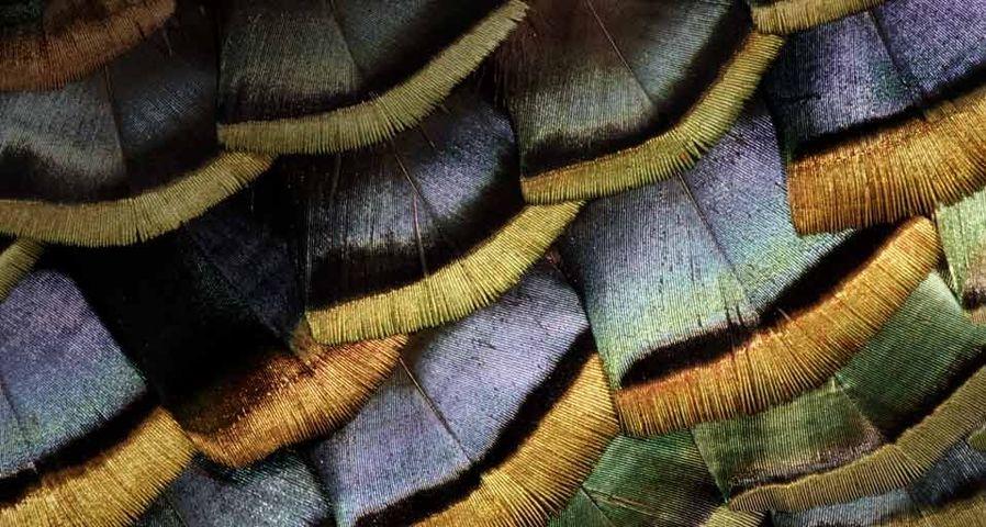 「ヒョウモンシチメンチョウの羽根」