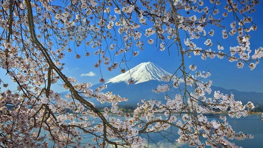 「桜と富士山」富士五湖周辺