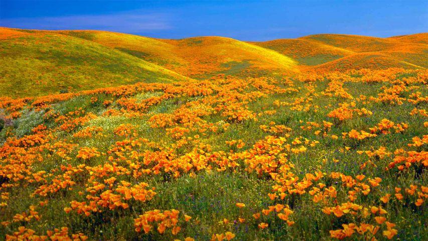 「アンテロープ・バレー・カリフォルニア・ポピー保護区」米国カリフォルニア州, ランカスター