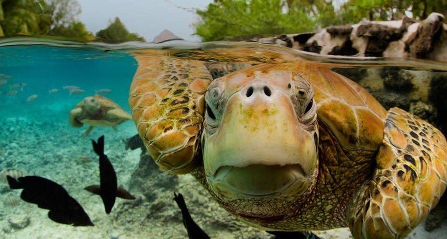 「アオウミガメ」ボラボラ島