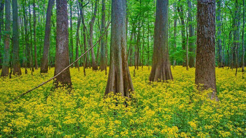 「コンガリー国立公園」アメリカ, サウスカロライナ州