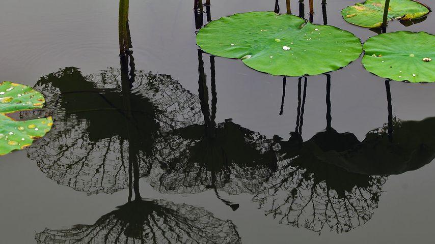 「水面に映る蓮の葉」中国, 上海