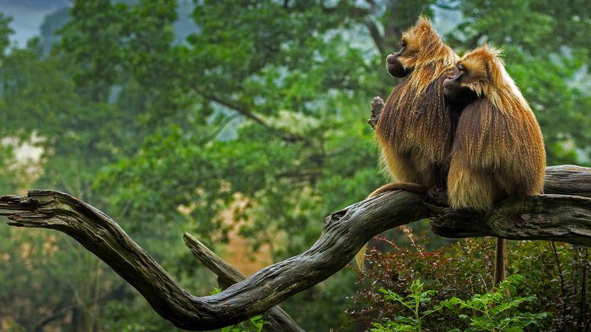 「樹上で休むゲラダヒヒ」