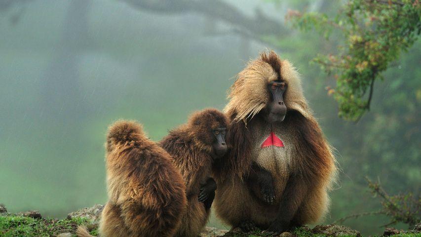 「ゲラダヒヒ」エチオピア, シミエン国立公園