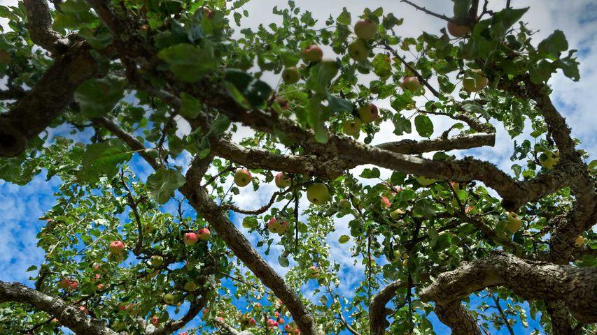 「ソルトスプリング島のリンゴの木」カナダ, ブリティッシュコロンビア州