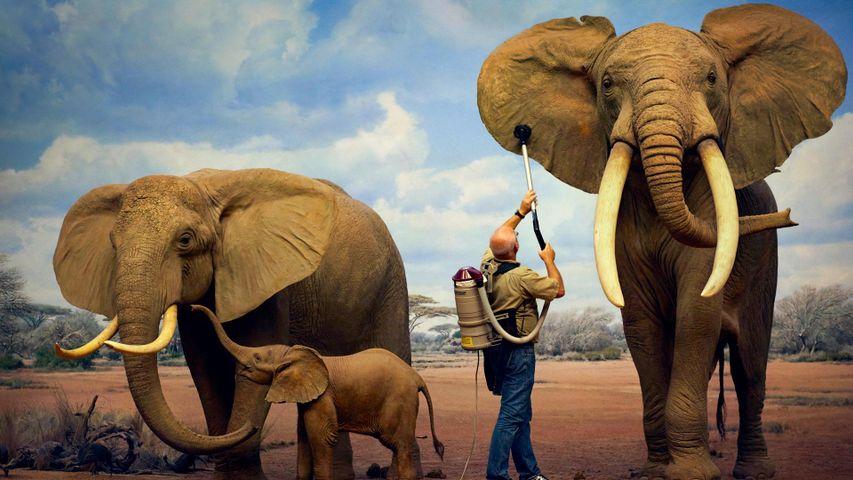 「ゾウの像の掃除」米国カリフォルニア州, ロサンゼルス自然史博物館