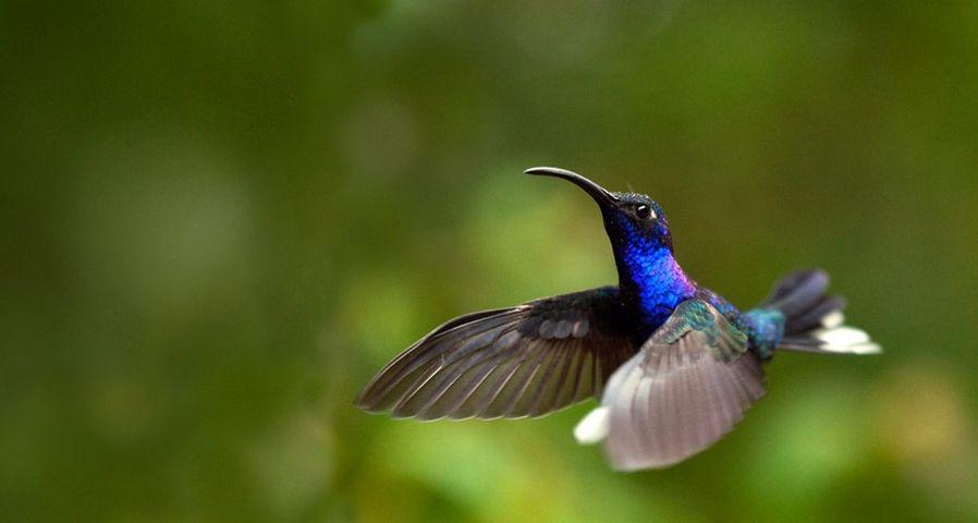 「ムラサキケンバネハチドリ」コスタリカ, モンテベルデ自然保護区