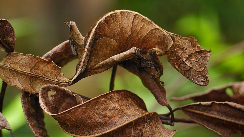 「エダハヘラオヤモリ」マダガスカル, マンタディア・アンダシベ国立公園