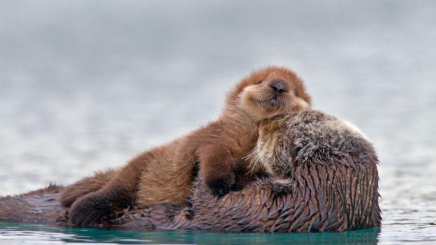 「ハグするラッコ親子」米国アラスカ州, プリンス・ウィリアム湾