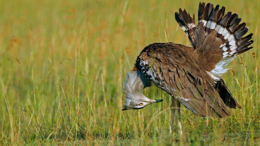 「アフリカオオノガン」ケニア, マサイマラ国立保護区