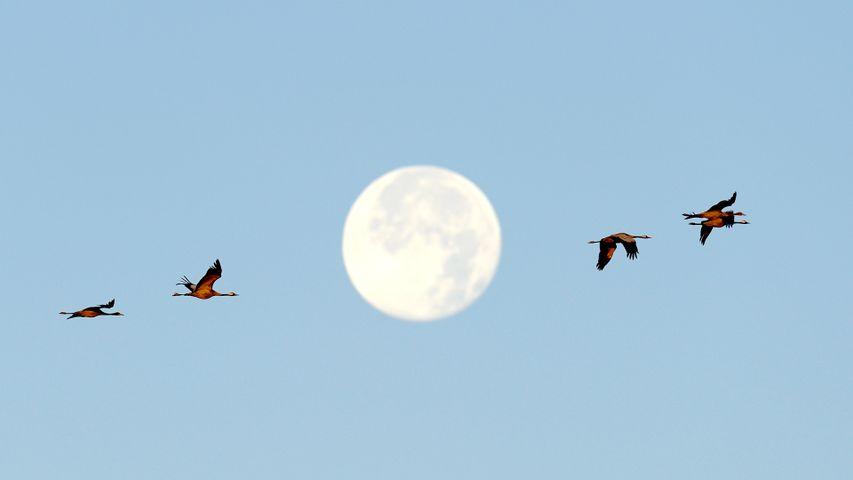 「満月とクロヅル」ドイツ, メクレンブルク=フォアポンメルン州
