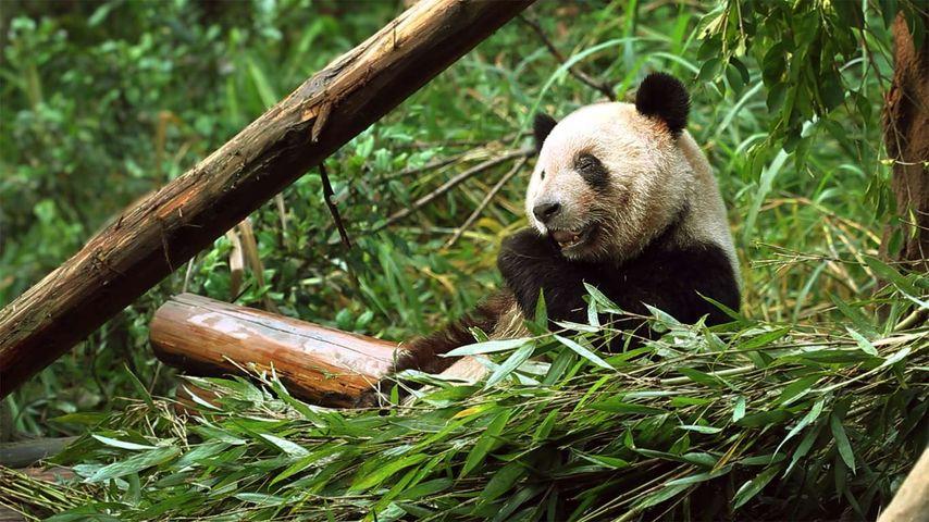 「ササを食べるパンダ」中国, 重慶市