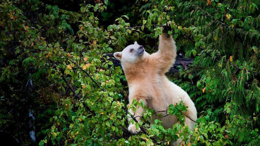 「シロアメリカグマ」カナダ, ブリティッシュコロンビア州