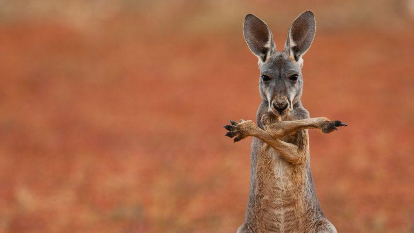「アカカンガルー」オーストラリア, スタートストーニー砂漠