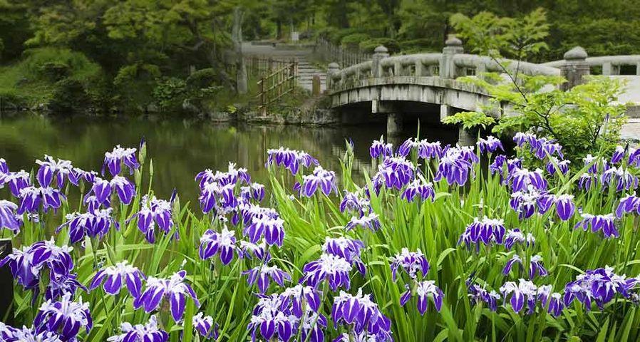 「円山公園のカキツバタ」京都, 東山区
