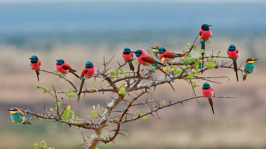 「ムコマジ国立公園のハチクイ」タンザニア