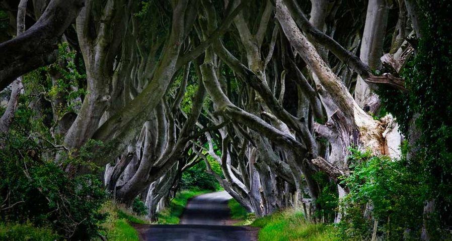 「アントリムの森」イギリス, 北アイルランド, アントリム州