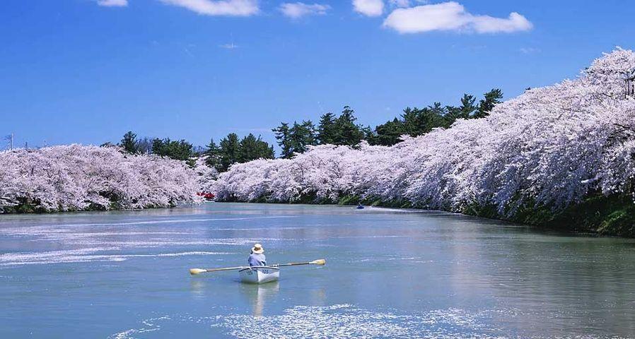 「弘前公園の桜」青森, 弘前