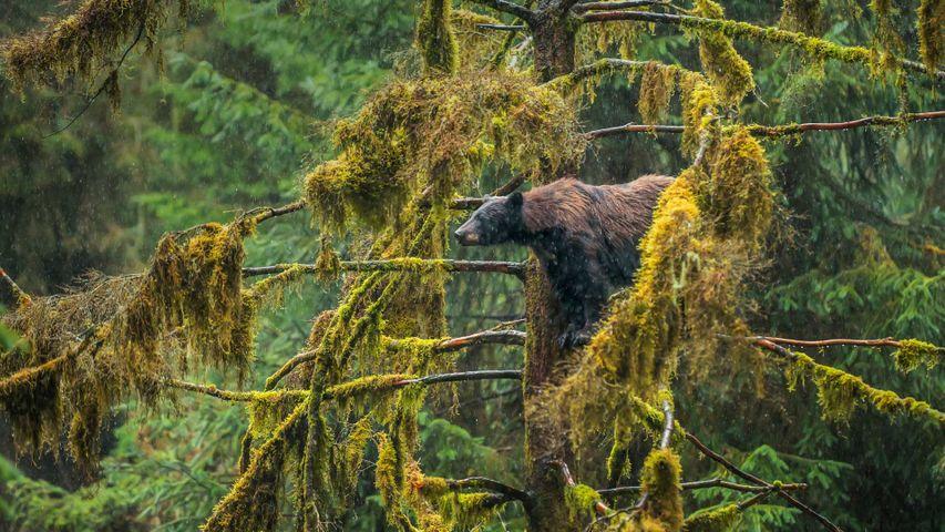 「アメリカグマ」米国アラスカ, トンガス国立森林公園