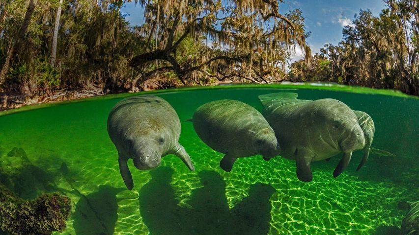 「ブルースプリング州立公園のマナティー」米国フロリダ州