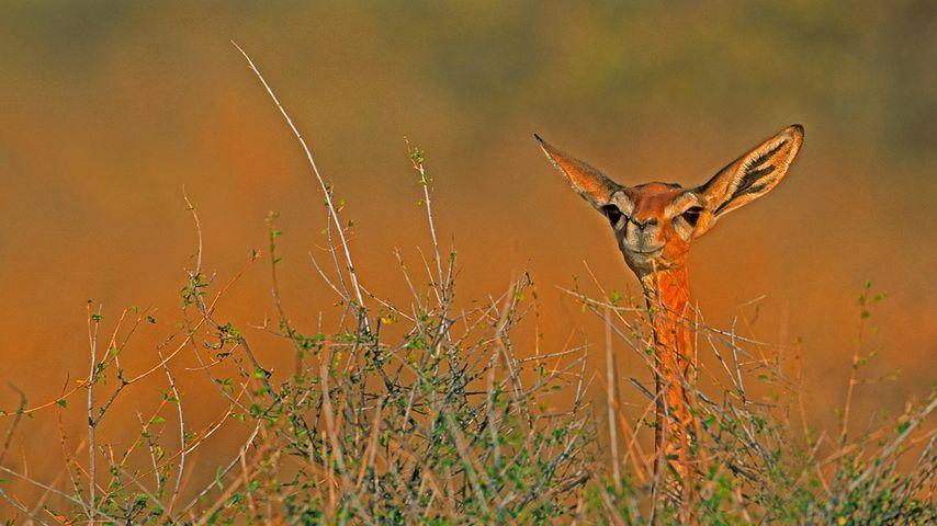 「ジェレヌク」ケニア, サンブル国立保護区