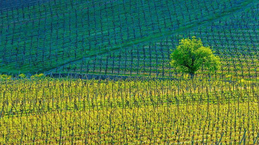 「キエンツハイムのブドウ園」フランス, アルザス地域圏