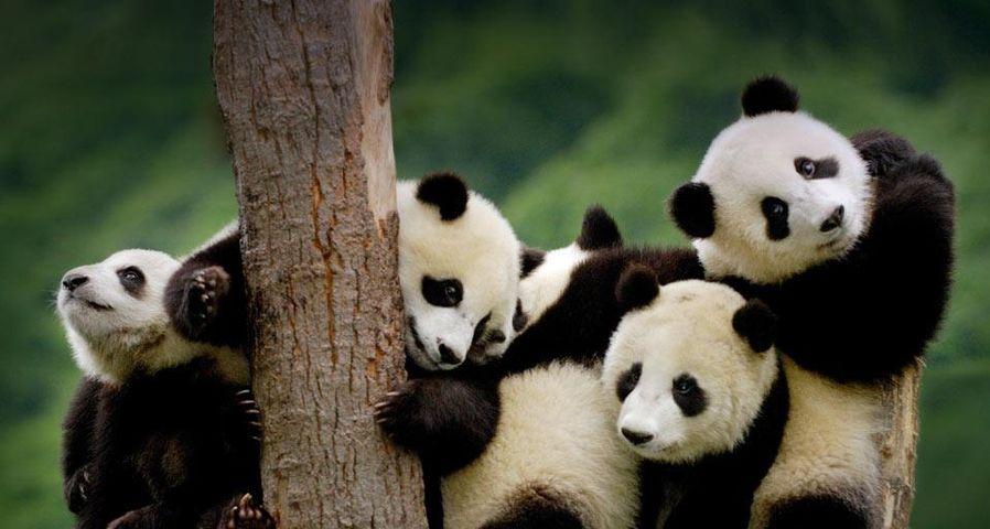 「パンダの子供たち」中国, 四川省