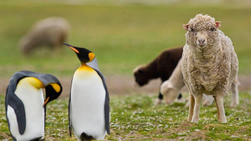 「羊とコウテイペンギン」フォークランド諸島