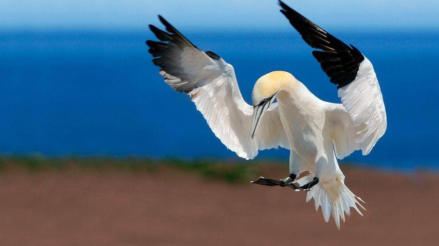 「シロカツオドリ」カナダ, ケベック州, ボナヴェンチュール島