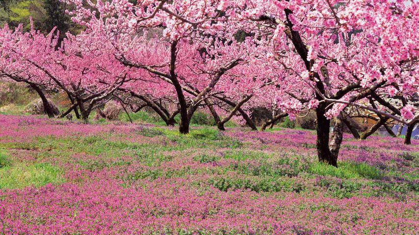 「桃畑」山梨, 笛吹市