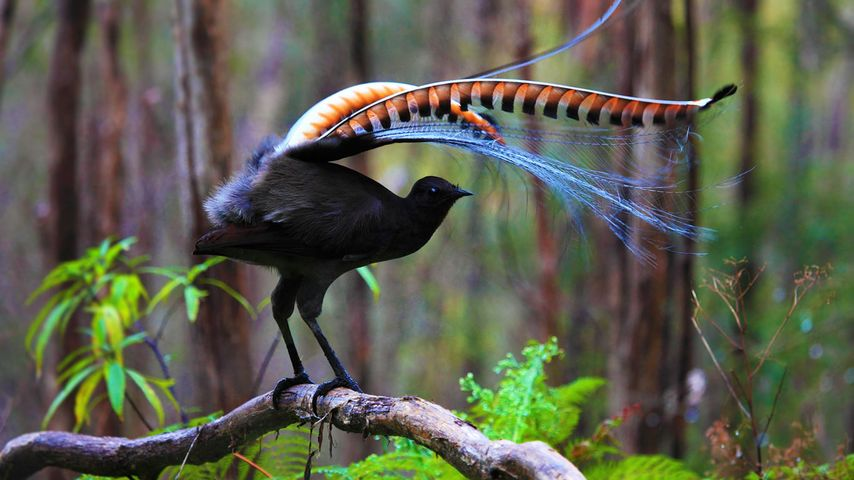 「コトドリ」オーストラリア, ビクトリア州
