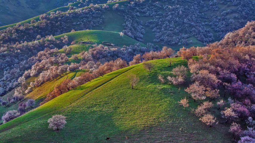 「キュネス県のアンズ畑」中国, 新疆ウイグル自治区