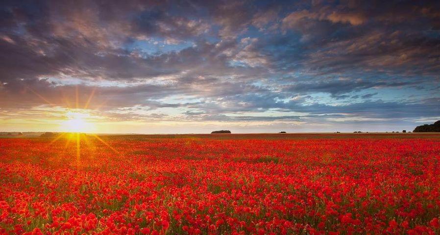 「ポピー畑に落ちる夕日」