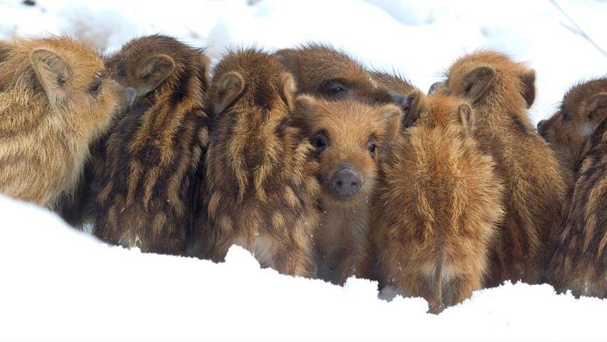 「雪の中のウリ坊兄弟」ベルギー