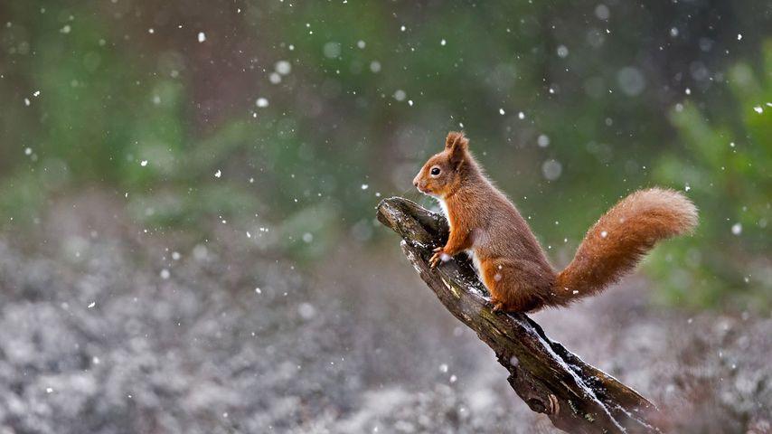 「雪の中のキタリス」イギリス, スコットランド