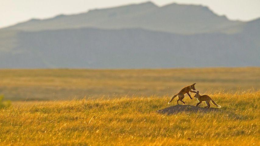 「ロッキー山脈の麓で遊ぶアカギツネ」アメリカ, モンタナ州