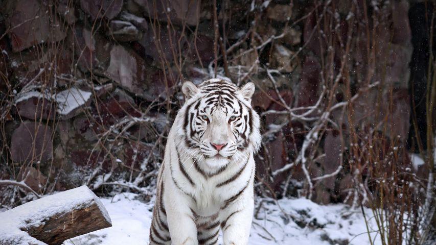「ホワイトタイガー」ロシア, モスクワ