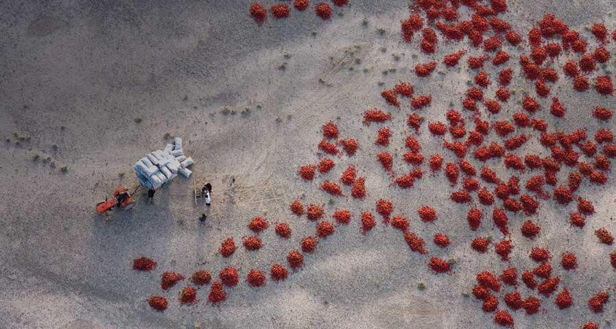 「とうがらしの収穫」中国, 新疆ウイグル自治区