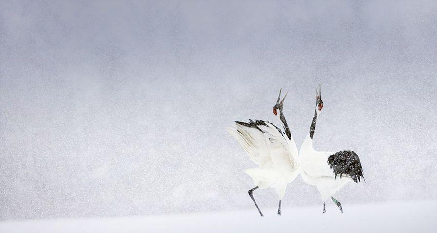 「タンチョウヅル」北海道, 釧路湿原国立公園