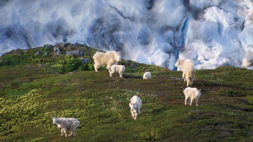 「シロイワヤギ」アメリカ, アラスカ州, キーナイ・フィヨルド国立公園