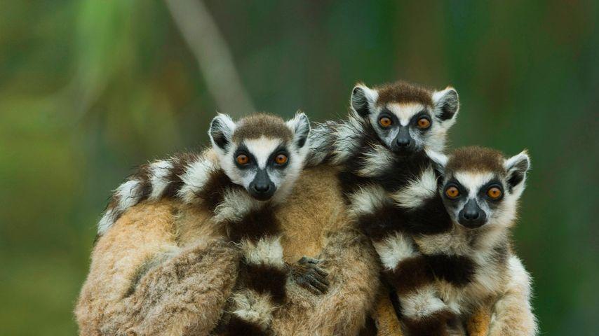 「ワオキツネザル」マダガスカル, ベレンティー保護区
