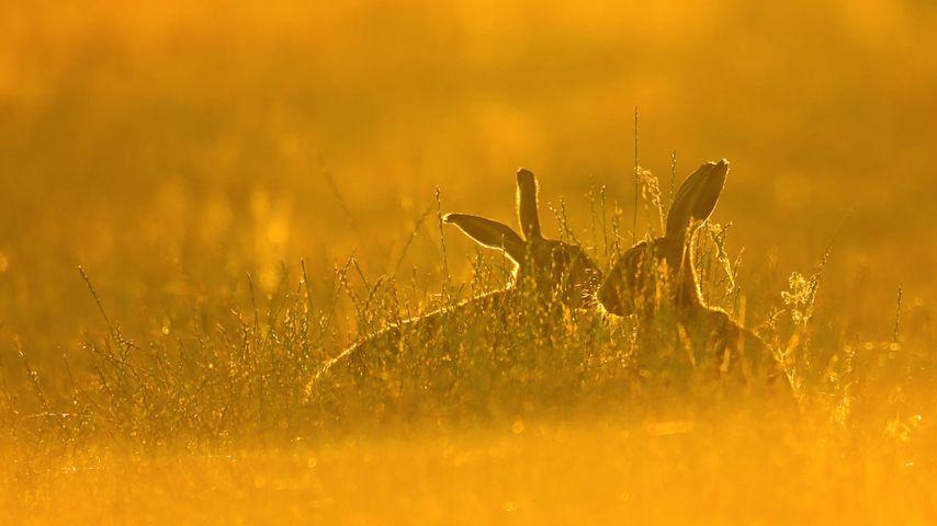 「ヤブノウサギ」