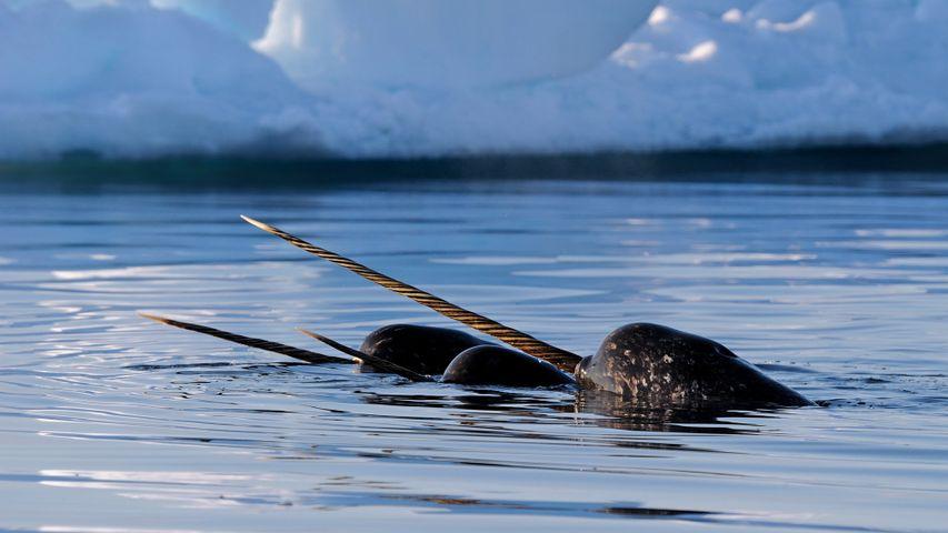 「イッカクの群れ」カナダ, バフィン島