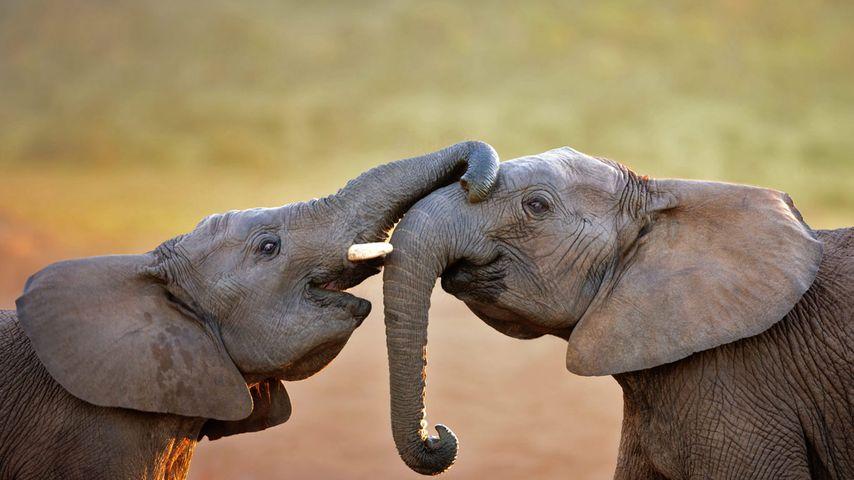 「アフリカゾウ」南アフリカ, アドゥ・エレファント国立公園