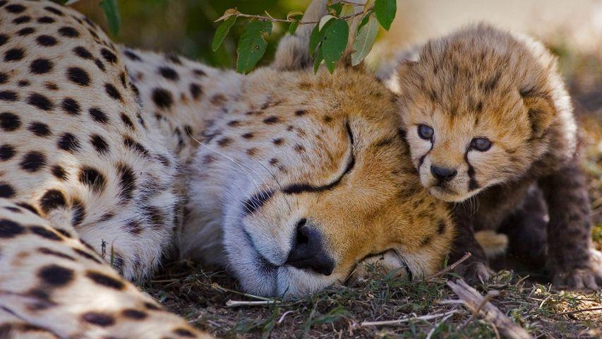 「チーターの母子」ケニア, マサイマラ国立保護区