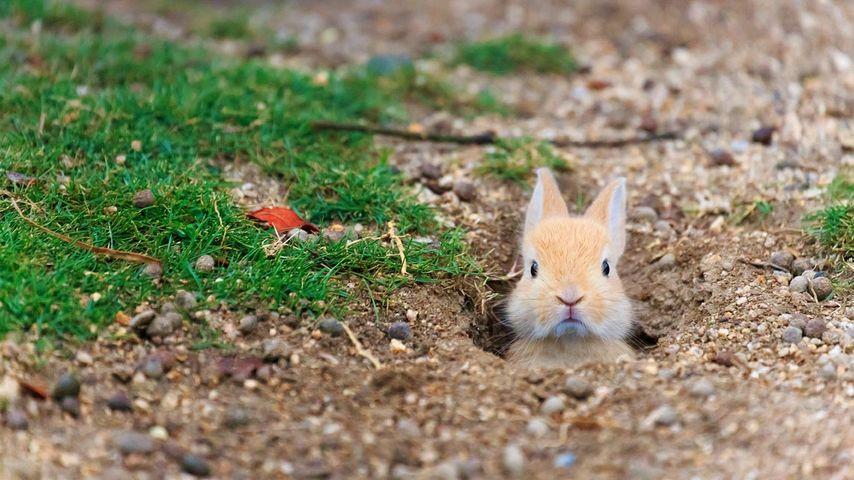 「赤ちゃんウサギ」広島, 大久野島