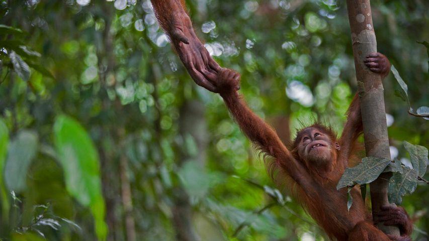 「スマトラオランウータンの子供」インドネシア, グヌン・レセウル国立公園