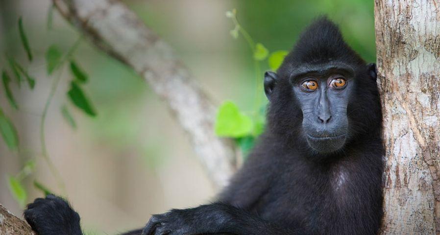 「木の上で休むクロザル」インドネシア, セレベス島