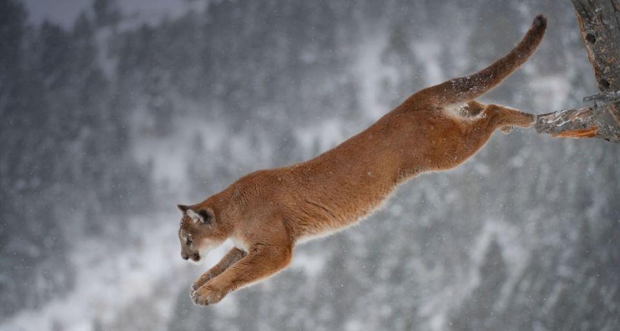 「ピューマのジャンプ」アメリカ, モンタナ州